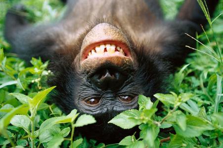 bonobo-pan-paniscus-smiling-cyril-ruoso