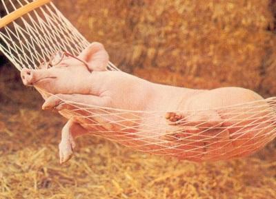 Cochon-dans-hamac