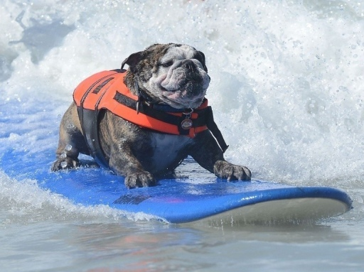 BullDog Surf